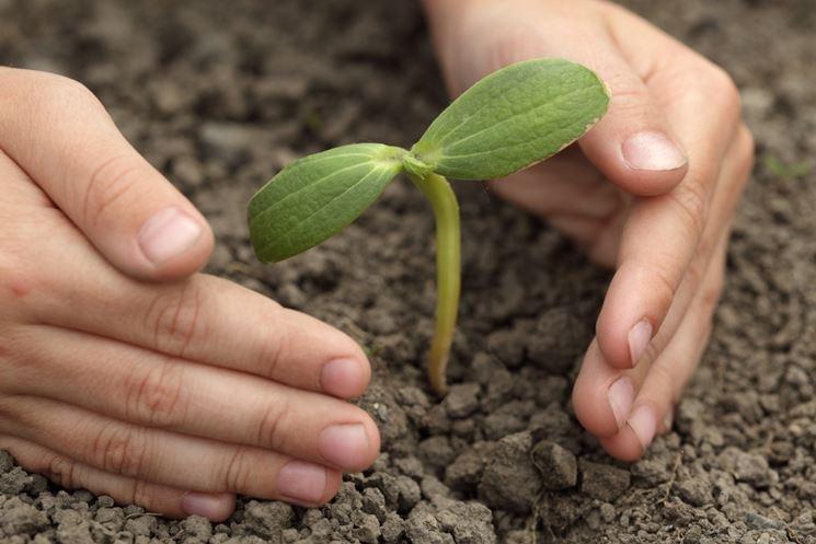 pianta semi